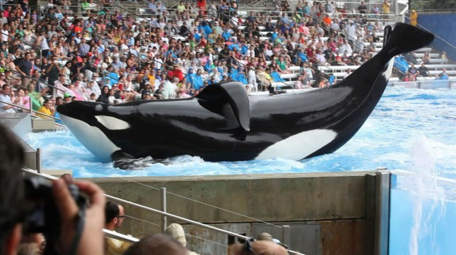 Killer whales featured in Blackfish.