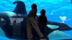 Tilikum in a scene from BLACKFISH a Magnolia Pictures release